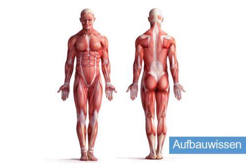 DFAV | Anatomie & Physiologie Aufbauwissen
