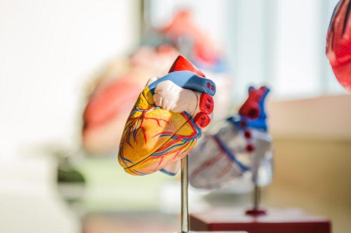 BIld Herzmuskel